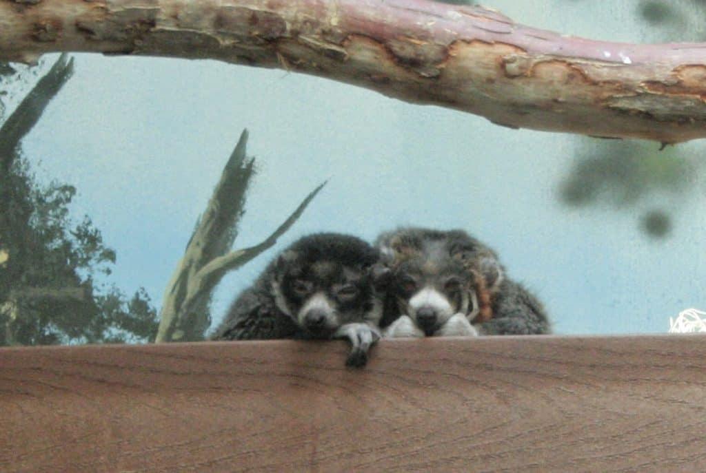 Denver Zoo Monkeys