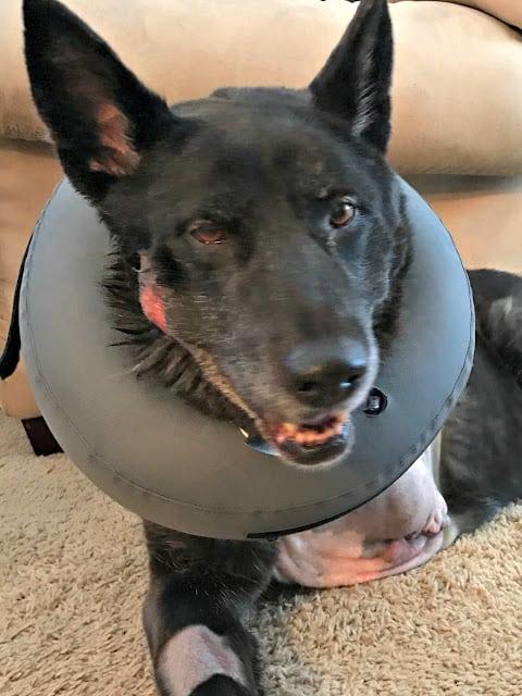 Dog Osteosarcoma, Osteosarcoma amputation pictures in Dogs, Dogs post-operative osteosarcoma amputation, Dog bone cancer prognosis