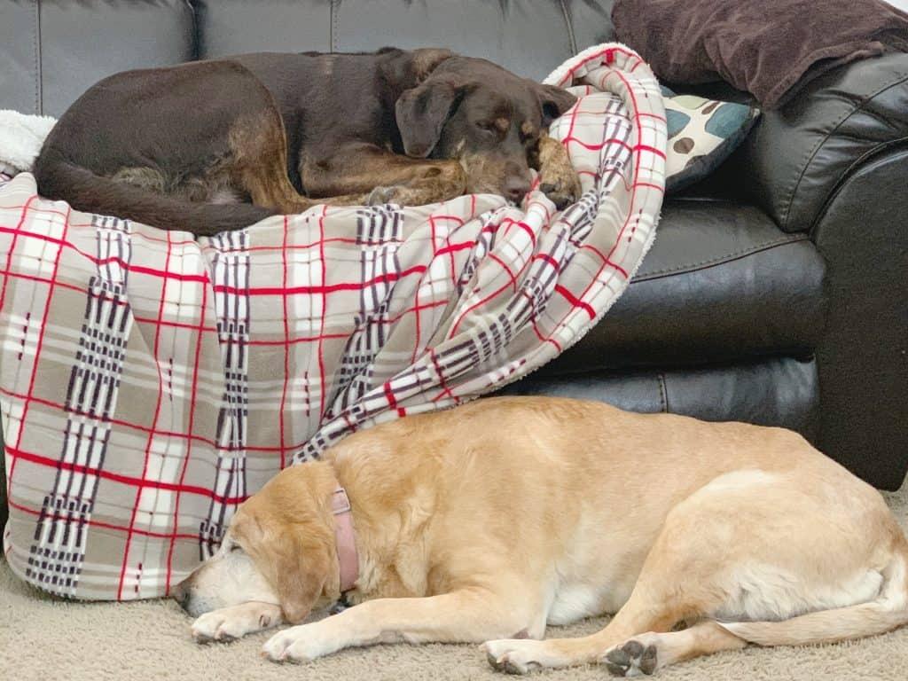 Sleeping Labrador Retrievers